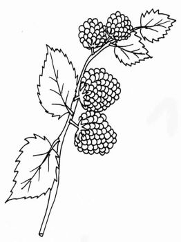 Blackberry-berries-coloring-pages-13