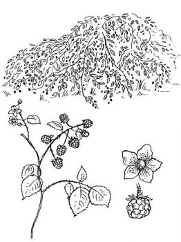 Blackberry-berries-coloring-pages-6