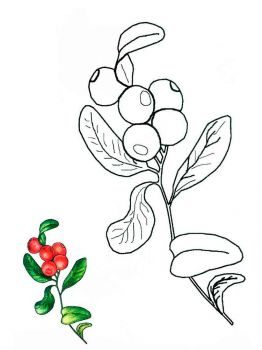 Cowberry-berries-coloring-pages-2