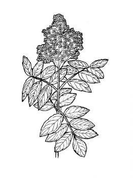 Elderberry-berries-coloring-pages-3