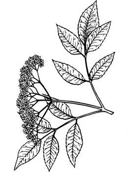 Elderberry-berries-coloring-pages-6