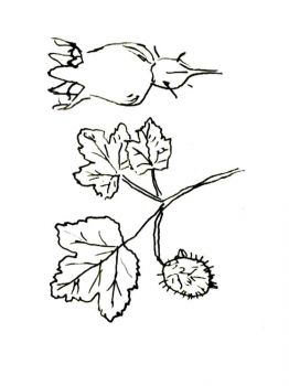 gooseberry-berries-coloring-pages-8