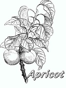 Apricot-fruits-coloring-pages-8