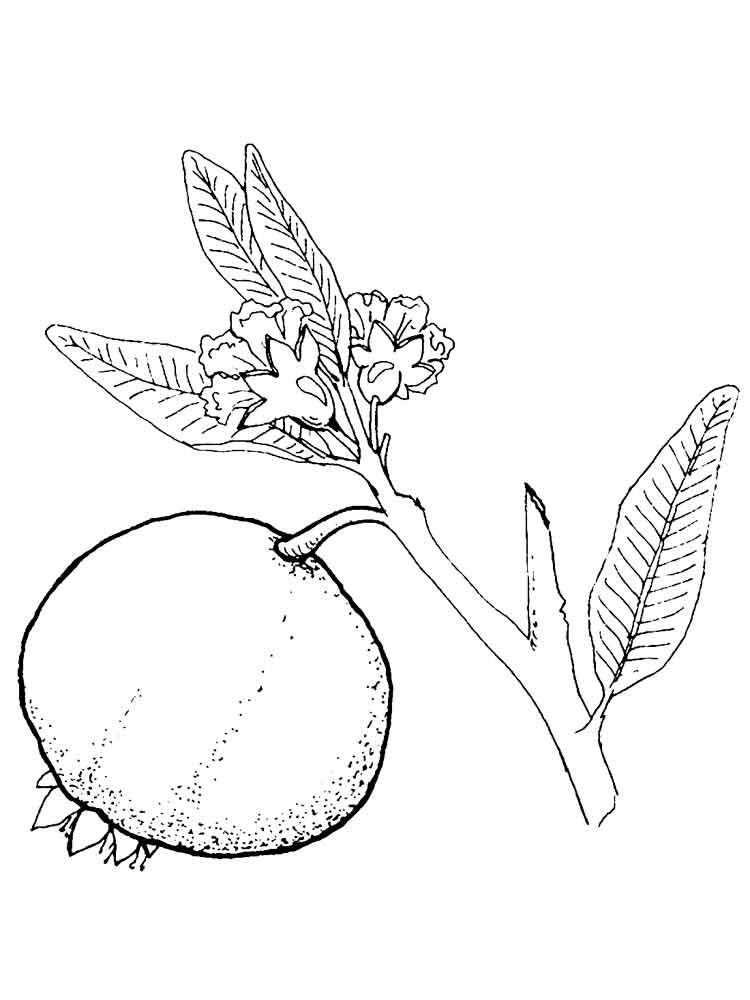 malvorlagen granatapfel  ausmalbilder kostenlos zum