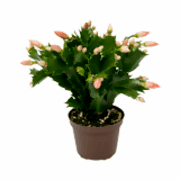 Schlumbergera coloring pages