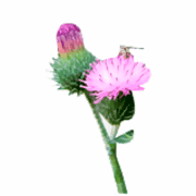 Thistle coloring pages