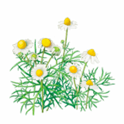 Chamomile coloring pages