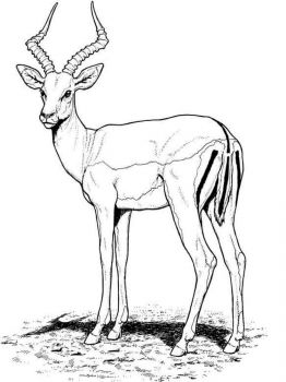 antelope-coloring-pages-11