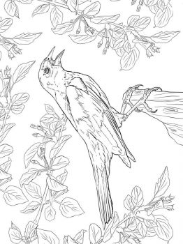 Blackbird-birds-coloring-pages-11