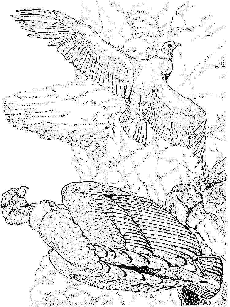 ausmalbilder kondor  malvorlagen kostenlos zum ausdrucken