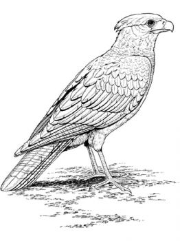 Falcons-birds-coloring-pages-12