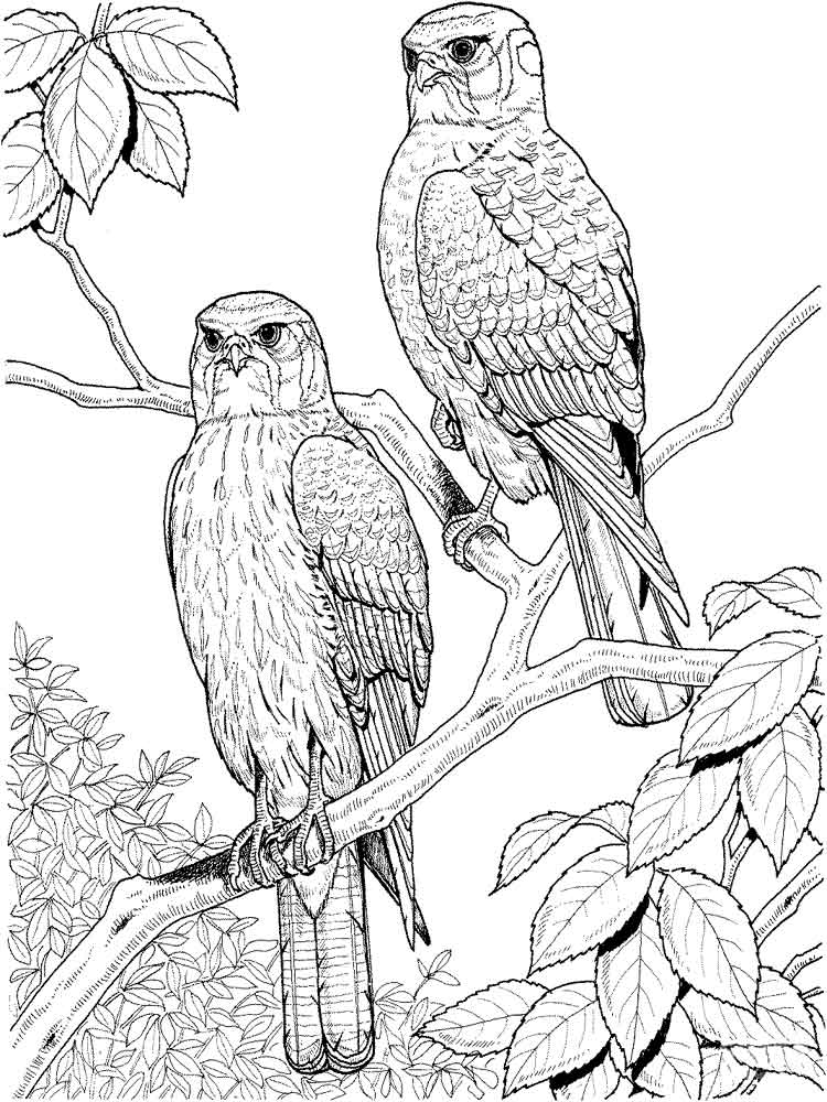 Free Printable Hawks Coloring Pages For Kids 1000 Best
