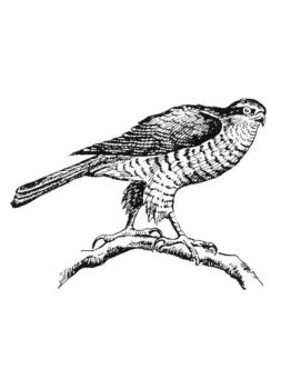 Hawks-birds-coloring-pages-1