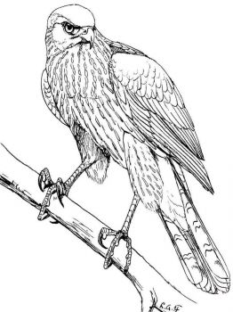 Hawks-birds-coloring-pages-3