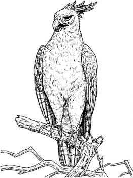 Hawks-birds-coloring-pages-6