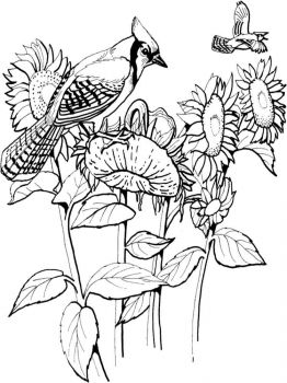 Jay-birds-coloring-pages-4