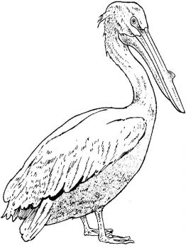 Pelicans-birds-coloring-pages-11