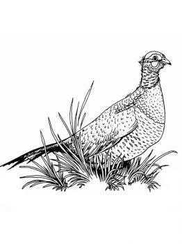 Pheasants-birds-coloring-pages-12