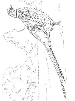 Pheasants-birds-coloring-pages-7