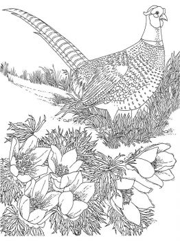 Pheasants-birds-coloring-pages-8