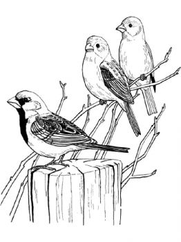 Sparrows-birds-coloring-pages-16