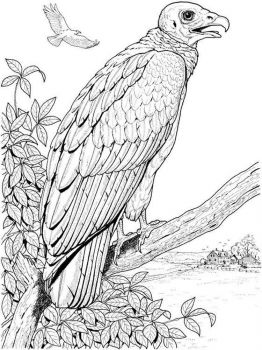 Vultures-birds-coloring-pages-10