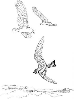 Vultures-birds-coloring-pages-6