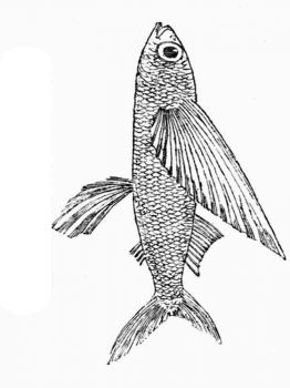 Flying-fish-coloring pages-10