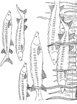 sturgeon-coloring-pages-4