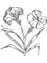 Carnation-flower-coloring-pages-12