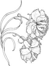 Carnation-flower-coloring-pages-9