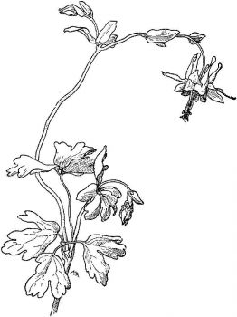 Columbine-flower-coloring-pages-2