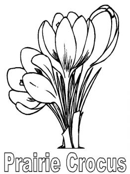 Crocus-flower-coloring-pages-10
