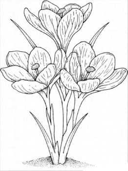 Crocus-flower-coloring-pages-3