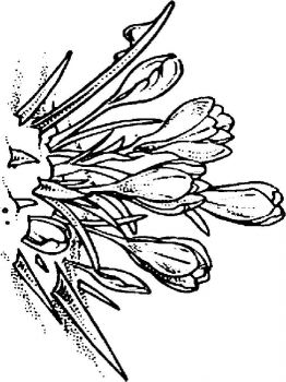 Crocus-flower-coloring-pages-6