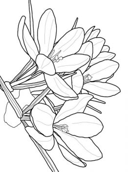 Crocus-flower-coloring-pages-8