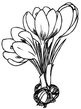 Crocus-flower-coloring-pages-9