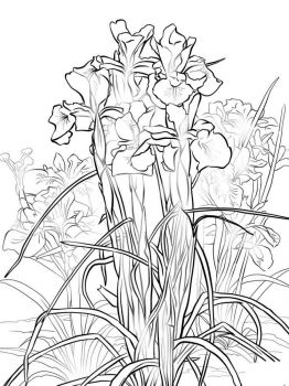 Iris-flower-coloring-pages-3