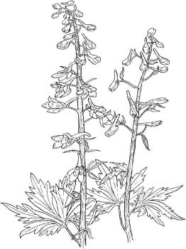 Larkspur-flower-coloring-pages-4