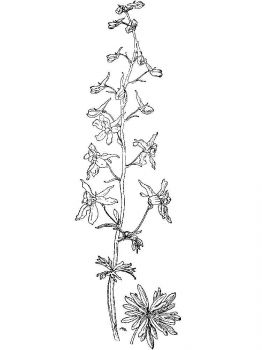 Larkspur-flower-coloring-pages-9