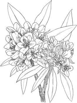 Laurel-flower-coloring-pages-3