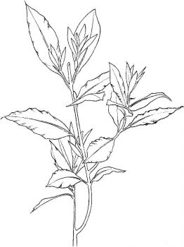 Laurel-flower-coloring-pages-7