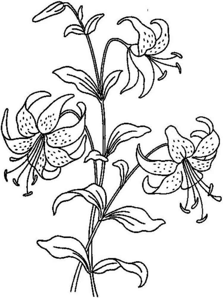 ausmalbilder lilie  malvorlagen kostenlos zum ausdrucken