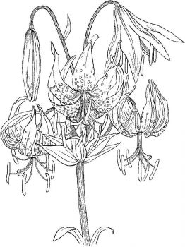 Lilies-flower-coloring-pages-8