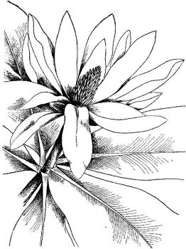 Magnolia-flower-coloring-pages-7