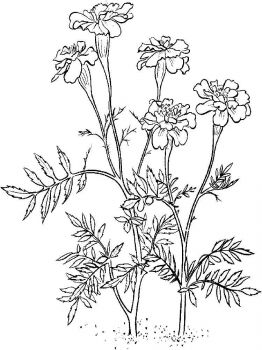 Marigolds-flower-coloring-pages-4