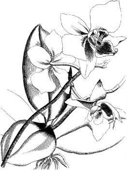 Orchid-flower-coloring-pages-17