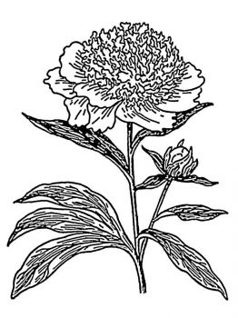 Peony-flower-coloring-pages-7