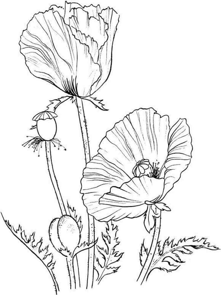 ausmalbilder mohnblume  malvorlagen kostenlos zum ausdrucken
