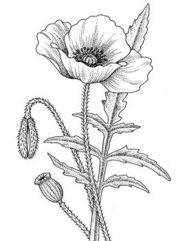 Poppy-flower-coloring-pages-5